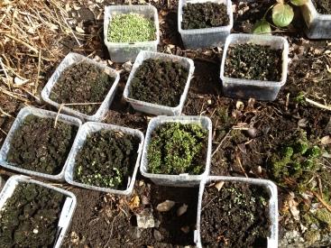 #Planting av frø, #Nelson Garden