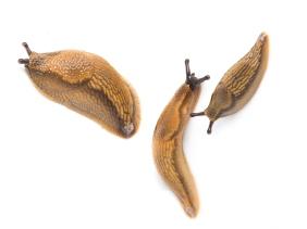 Foto: E. Fløystad, Bioforsk. Brunskogsneglens tre stadier.