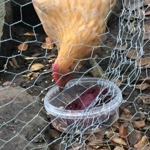 Anno hønen likte også kokte Aronia bær